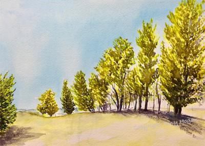 Tall trees in Wadebridge park
